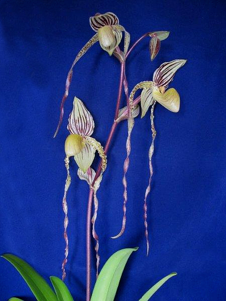Paph. Angel_Hair