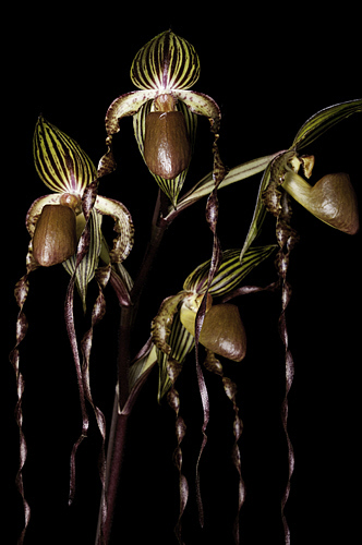 Paph. Raingreens Grande