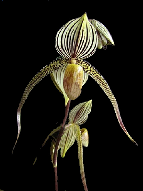 Paph.SaintSwithin