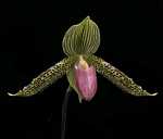 Paph.Iantha_Stage